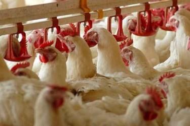 Faizsiz Tavuk Çiftliği Kredisi Hibe Şartları (2 Yıl Ödemesiz)