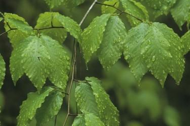 Kayın Ağacı Nedir? Özellikleri ve Faydaları Nelerdir?
