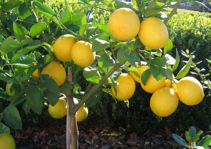 Limon ağacı kaç yaşında meyve verir?>